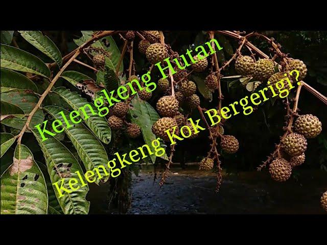 Kelengkeng hutan Buah Buahan aneh dari Kalimantan