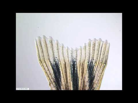 Regeneration: Zebrafish Grows Back A Damaged Fin In 14 Days