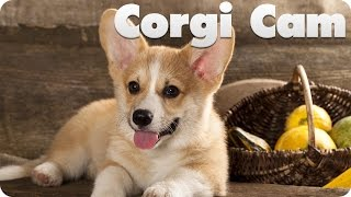 Live Event Playback Is Not Supported On This Client.     Corgi Puppy Cam