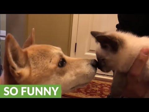 Shiba Inu thrilled to have new kitten friend