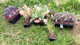 South Yorks allotment - yr2/ep5 part 2 - New Greenhouse! Planting brassica's and plot 2 tour.
