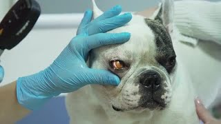 Vet Examines Dog's Eye Stock Video