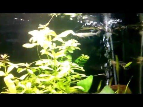 Кормление аквариумной рыбки Дермогенис или полурыла бойцового