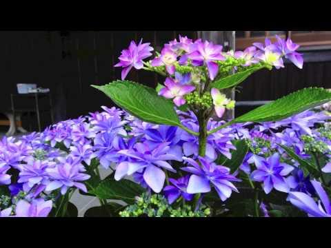金泉寺 〜紫陽花と大銀杏の咲くお寺〜
