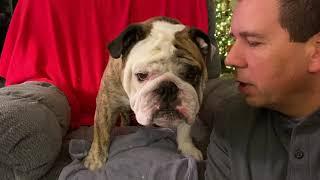 reuben-the-bulldog-the-art-of-giving-in