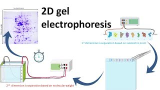 2D gel electrophoresis