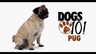 О породе собак   Мопс