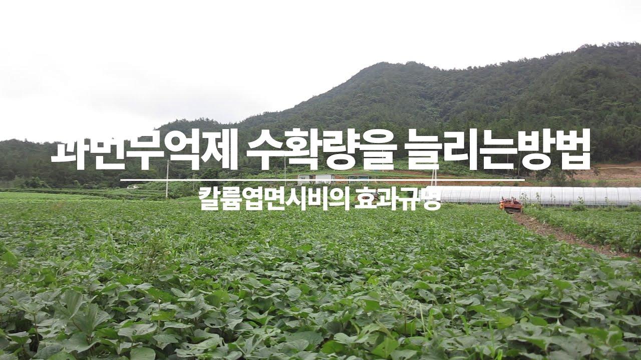 고구마 순 억제시키면서 수확량 1.6배 까지 늘리는  방법