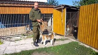 Эстонские гончии Тайга и другие