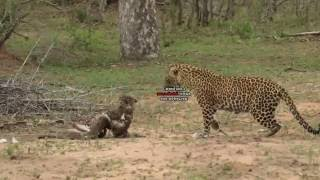 Female Leopard VS Black Mamba VS Snake Eagle
