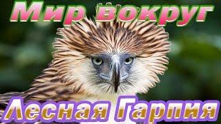 Гарпия - лесной орёл Южной Америки.