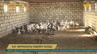 Атырау облысындағы құс фермасында қаз өсіру қарқын алды