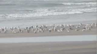 Seagull Birds at Anjarle Beach Dapoli Ratnagiri.MOV