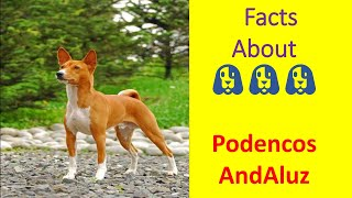 Podenco Andaluz :: #twenty one part || about dog breeds ¦¦ by Dogumentery on Breeds