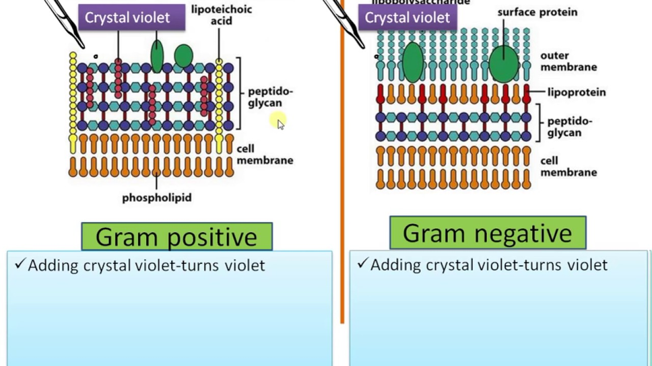 Difference between gram positive and gram negative bacteria youtube difference between gram positive and gram negative bacteria ccuart Image collections