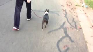 Tilly the Boston Terrier - Before and After - Loose lead walking with Fleur and Tilly