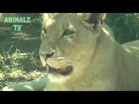 White Lions Family In Tbilisi Zoo - Awesome Animals
