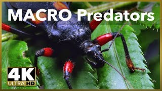 Predatory Bugs in 100mm Macro 4K UHD Stock Video Footage