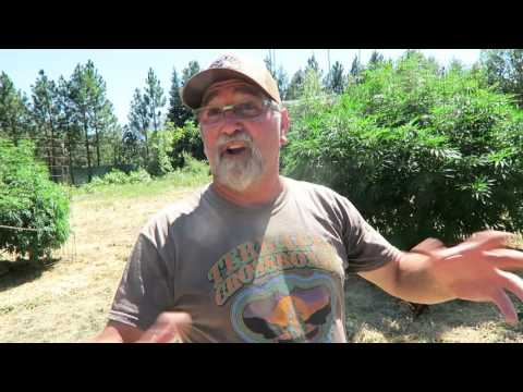 Grow Marijuana: Organic Outdoor Marijuana Garden in Oregon