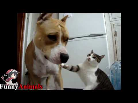 Pitbull Playing With Cats - Pitbull Vs Cat and Kittens Compilation 2017