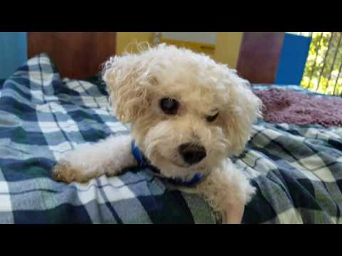 Jessie, a male Bichon Frise at Muttville