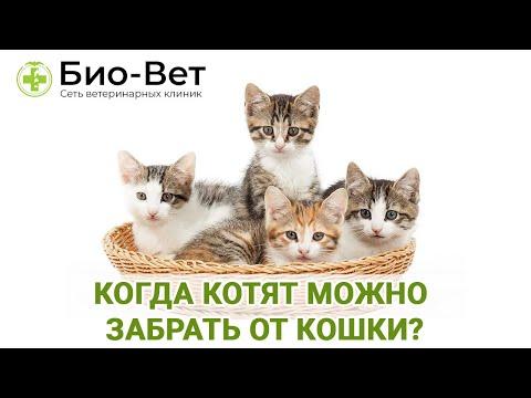 Когда котят можно забрать от кошки / Оптимальный возраст забора котенка из кошачей семьи / Био-Вет