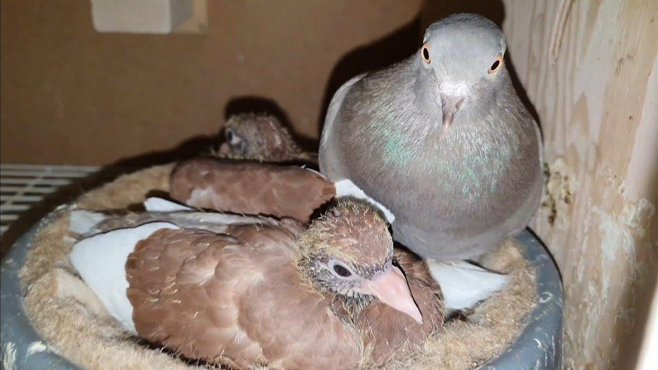2020-05-14 Baby pigeons keep growing - YouTube