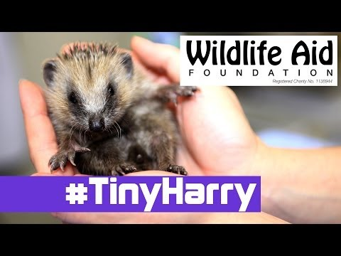 Super CUTE Hedgehog - Tiny Harry!