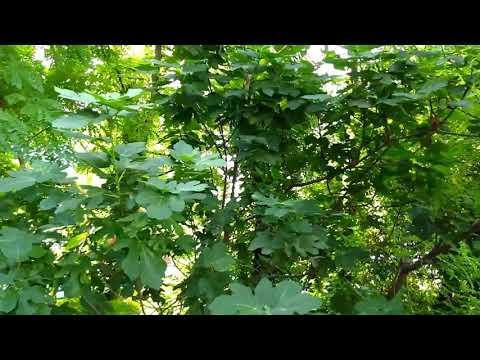 Инжир. Дерево. Инжировое дерево. Фиговое дерево. Смоковница. Бибионе 2019.