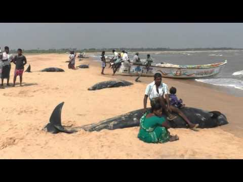 Whales at beaches in Thoothukudi, fishermen families sitting on the whales