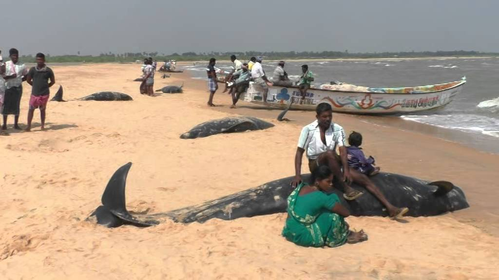 Whales at beaches in Thoothukudi, fishermen families sitting on the whales #1