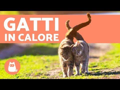 Come capire che un gatto è IN CALORE? - Sintomi e cosa fare