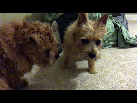 Norfolk Terriers Wrestle To A Draw