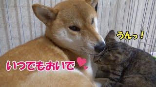柴犬リコが寝床作りに一生懸命♪ すると、子猫リリがリコのハウス(ケー...