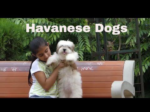 Havanese Dog Review I 2016 I
