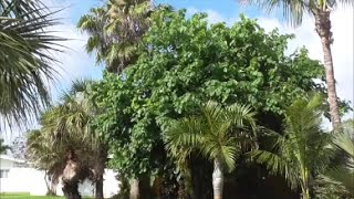 The Common Black Mulberry Tree - Compared to the Everbearing Mulberry