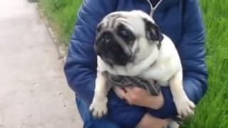 Мопс ругает собаку