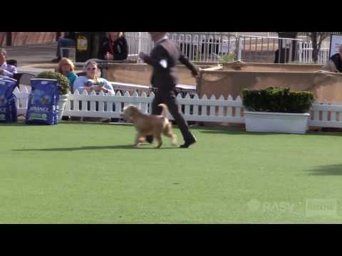 Terriers (group 2) - General Specials Day - Royal Melbourne Show All Breeds Championship Dog Show
