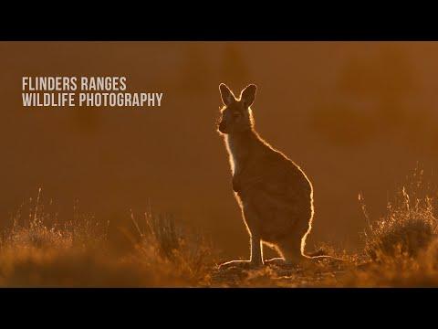 FLINDERS RANGES WILDLIFE - SOUTH AUSTRALIA