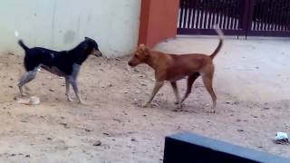 Street Dogs Fighting Video 2017