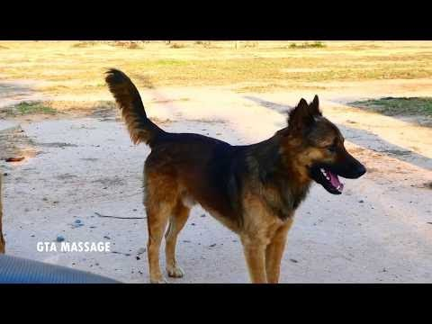 Summer RuralDogs!! Rhodesian Ridgeback Vs Leonberger in Middle Village  Life Of Dogs #51