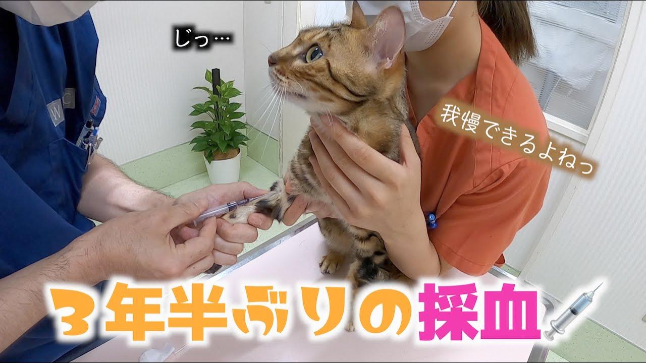 YouTubeでこんなに大人しく採血を受ける猫見たことある??