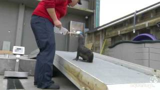 northern fur seal pup conservation research