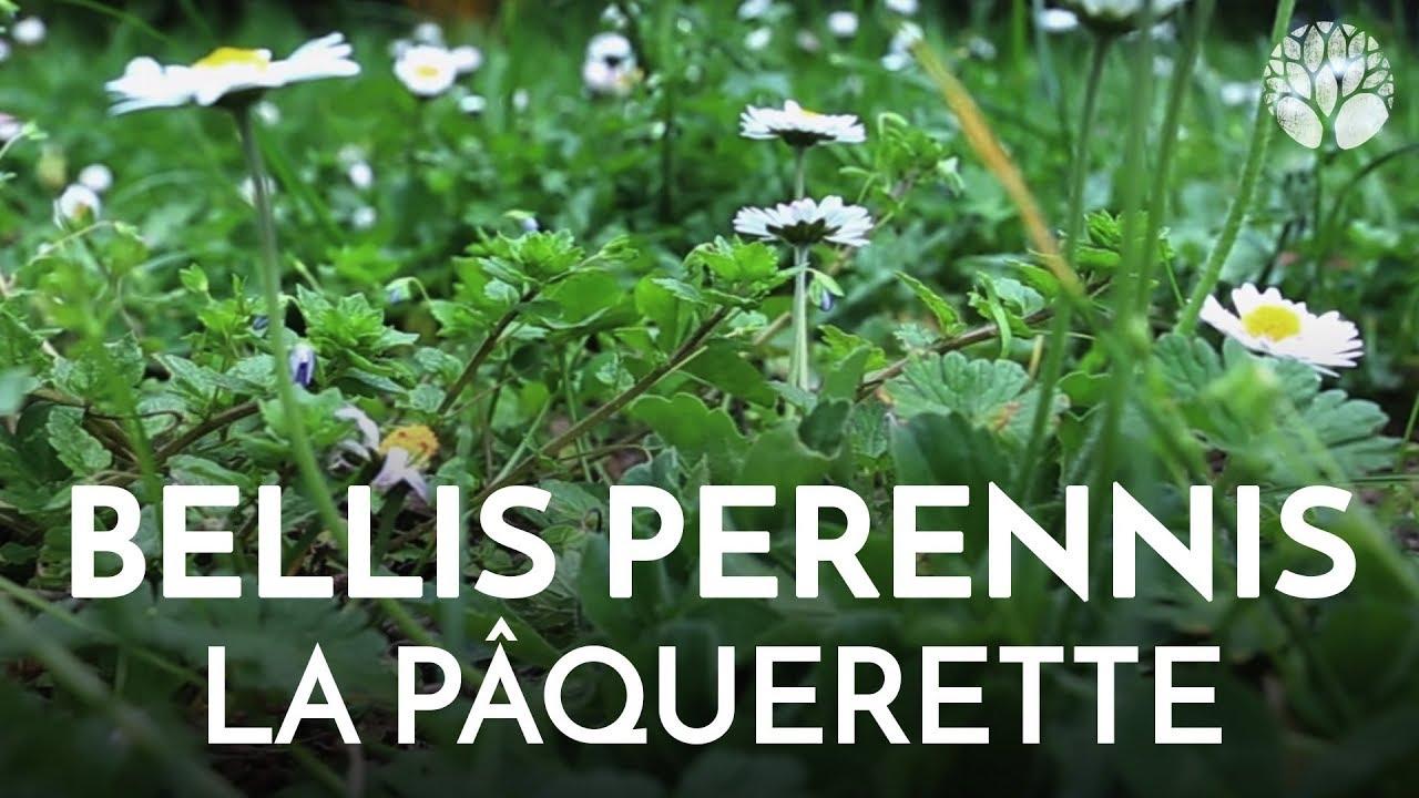 La pâquerette, Bellis perennis, plante sauvage comestible et médicinale