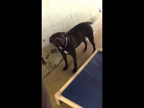 Injured Lab/Staff mix needs rescue- RUBY A1741705 @ BCACA