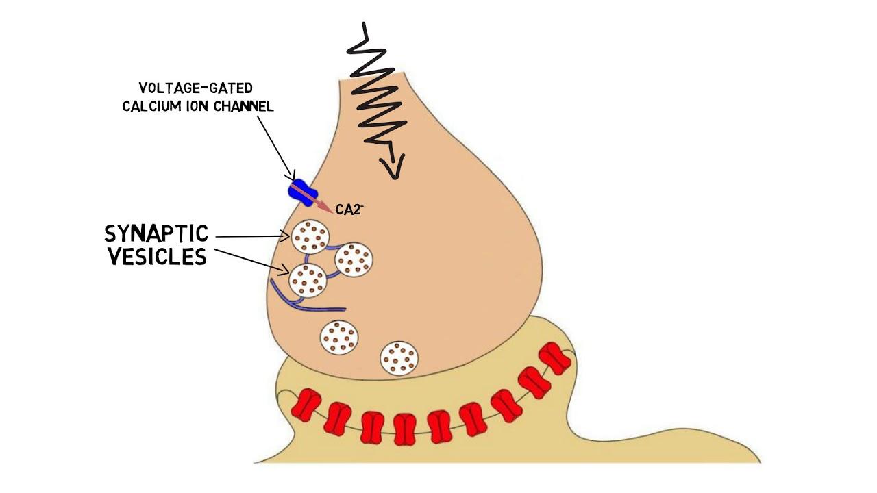 hight resolution of 2 minute neuroscience neurotransmitter release