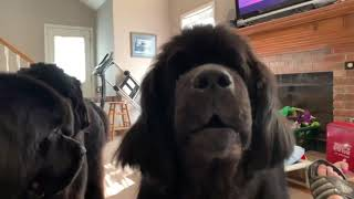Hungry Hungry Newfoundlands