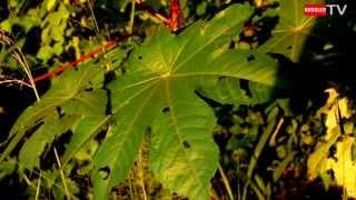 Le ricin commun (Ricinus communis, seule espèce du genre Ricinus)
