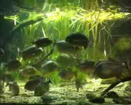 Piranha feeding time at ZSL London Zoo
