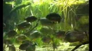 Piranha feeding time at ZSL London Zoo